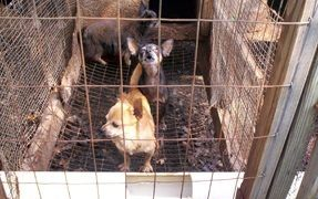 Dogs Rescued from Living in Squalor