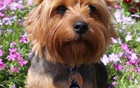 Rescue Terrier Crowned 'World's Smallest Working Dog'