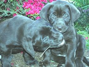 Python-Hunting Dogs