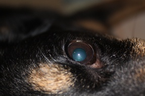 Treat Your Dog's Dry Eye