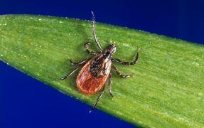 More ticks than normal this year