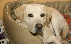 Labrador Retriever is an Ideal Family Dog