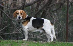 Beagles Are Cute Singers