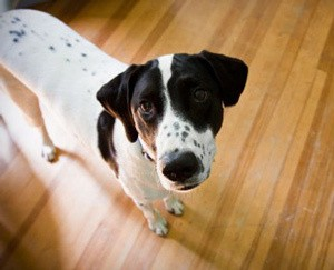 What To Do About Dog Urine On Your Hardwood Floors The Dogington