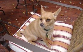 The Chihuahua is a Delight For Seniors