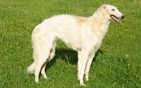 The Graceful Borzoi