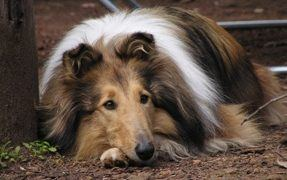 The Intelligent and Gentle Collie