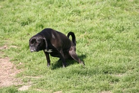 Canine Incontinence Causes and Treatments