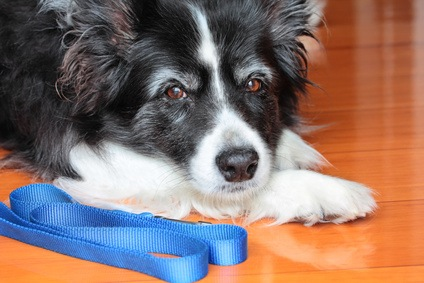 Need Help With My Border Collie Who Has Hard Time Walking - The