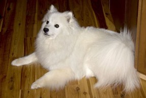 American Eskimo Dog - a Good Companion