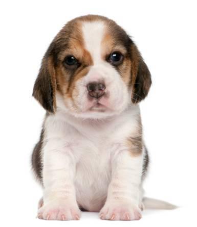 Optimized-Beagle