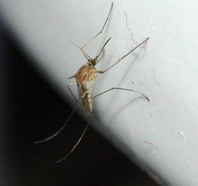 Heartworms are transmitted by mosquitos