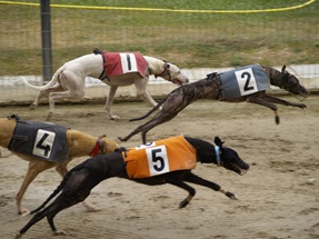 adopt a racing Greyhound