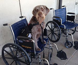 Gander, Veteran Service Dog