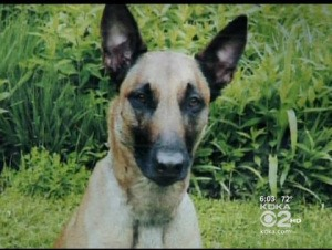 Coco, a Belgian Malinois, is missing in the North Pittsburg are after chasing away robbers earlier this week.