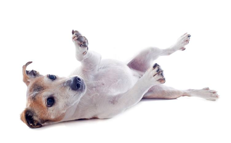 Why Do Dogs Kick When You Scratch Their Belly? - The