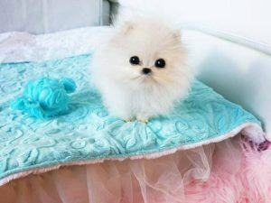 The $13,000 Pomeranian purchased by Paris Hilton via Betty's Teacup Yorkies.