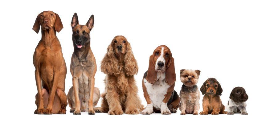 populardogbreeds