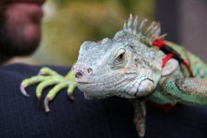 "Because of online service animal ""certification"" and registries, there are several pet iguanas that have been registered and issued documentation and ID cards claiming they are legitimate service animals."