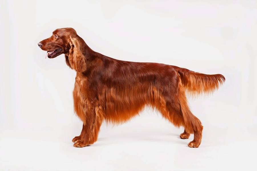 Irish Setter (Photo credit AKC)