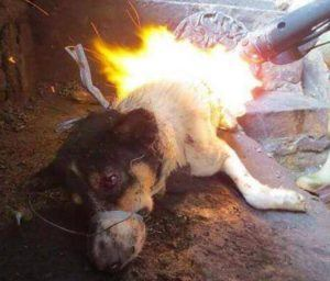 A dog, most likely a stolen family pet, is burned alive for his meat.  Image via Ricky Gervais/Facebook.