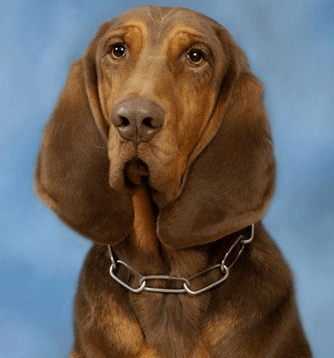 Zane, a 5-year old Bloodhound, had been with the Conyers Police Department for 4 years. Image via CPD.