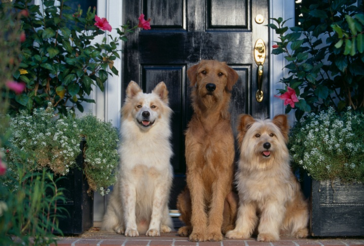 Three Dogs Waiting on Front Step