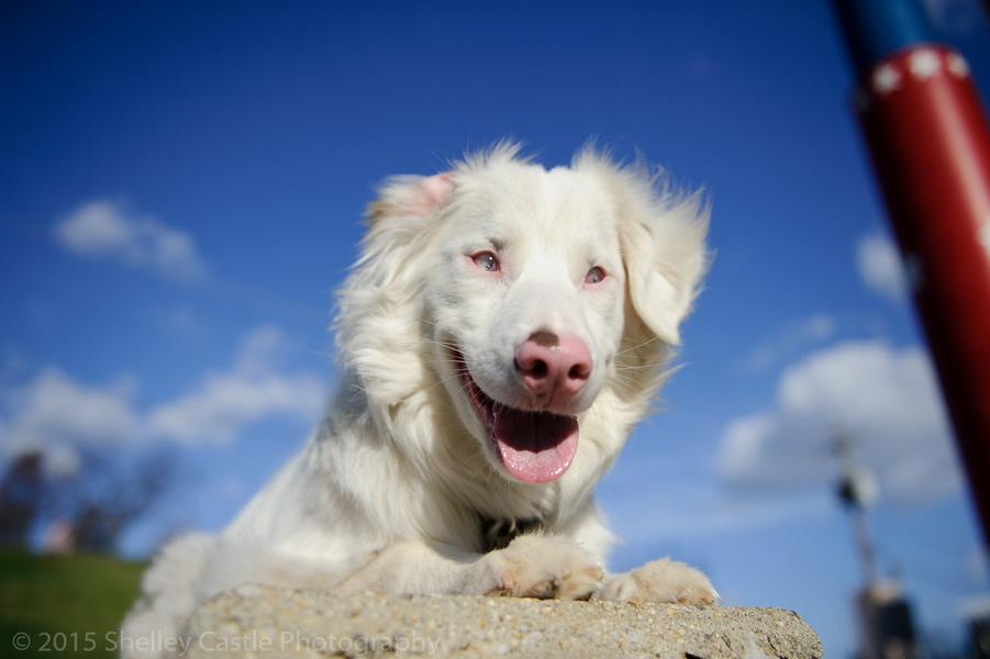 Double Merle Dogs A Lethal Genetic Combo Thats Totally