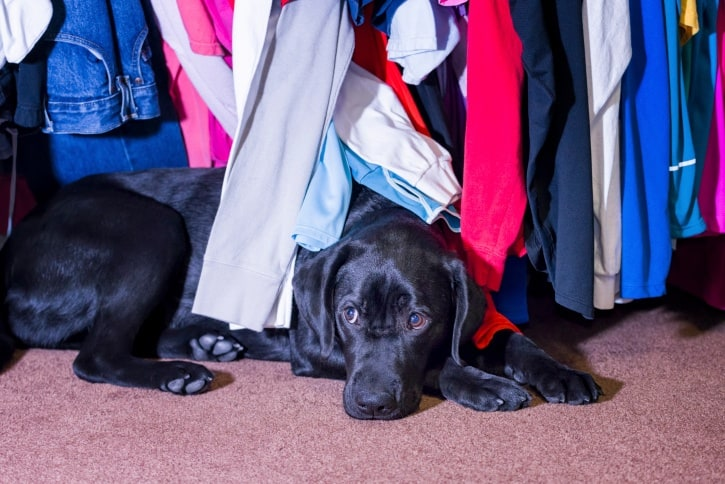 Young labrador hiding under a clothes rack