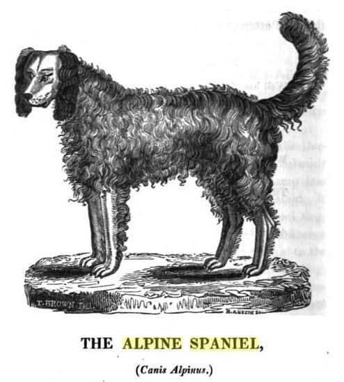 Alpine_spaniel