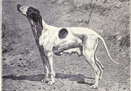 Braque du Puy