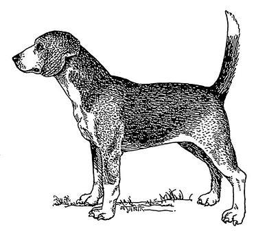 North-Country-Beagle-1
