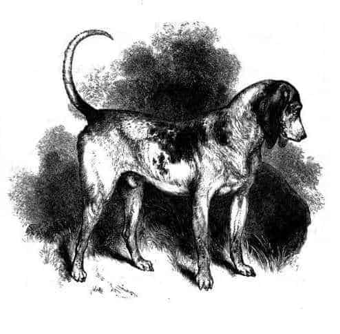 Southern_Hound1