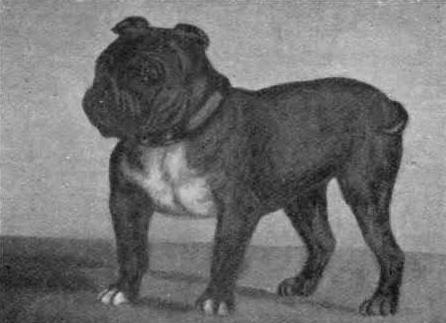 Toy_Bulldog_Little_Knot_19031