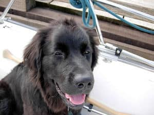 Rosie the Newfoundland