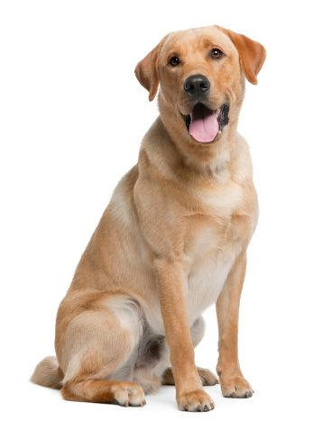 Labrador retriever, 12 months old, sitting