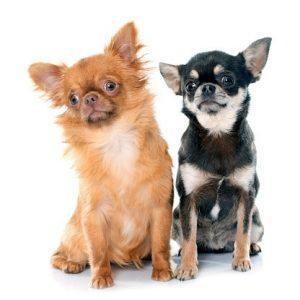 There are two varieties of Chihuahua competing at Westminster.