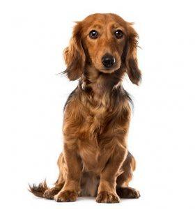 The Longhaired Dachshund.
