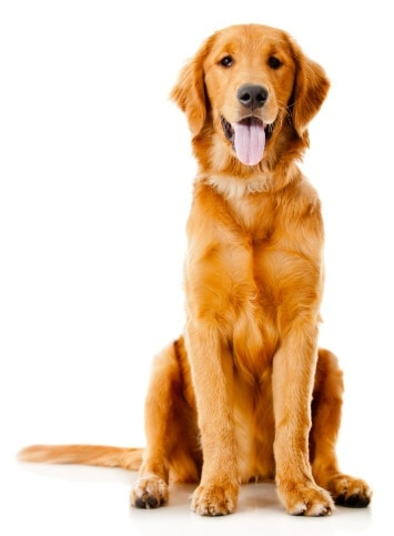 The Golden Retriever ranks #5 in America's most popular breeds.