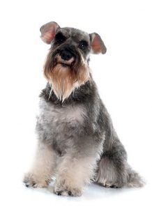 The Miniature Schnauzer.