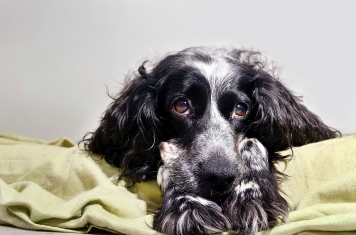 spaniel sad looking at camera