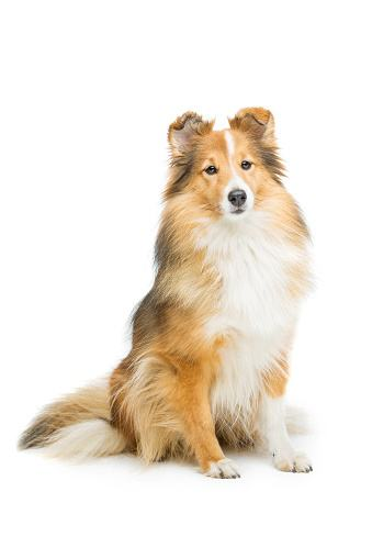 The Shetland Sheepdog, or Sheltie, is another favorite who has yet to win Best in Show!