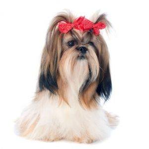 The Shih Tzu is a favorite on the show floor, but somehow falls just short of Best in Show each year.