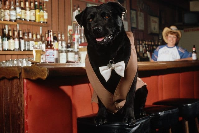 07 Jul 1984, Sunol, California, USA --- Bosco, a black Labrador retriever, was voted mayor of the unincorporated area of Sunol, California when he received more votes than the two human candidates. Bartender Kathleen Anderson stands behind the bar. --- Image by © Roger Ressmeyer/CORBIS