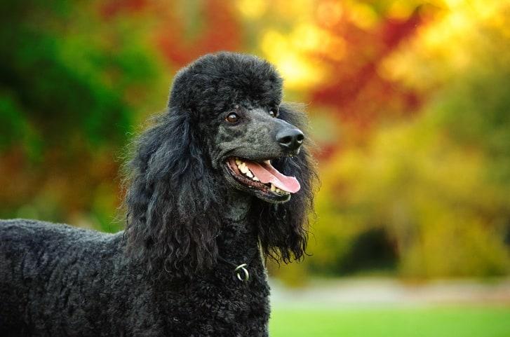Black Standard Poodle in the park
