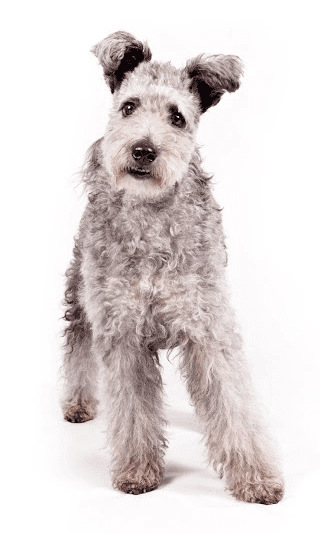 Pumi becomes the AKC's 190th recognized breed. Source: American Kennel Club