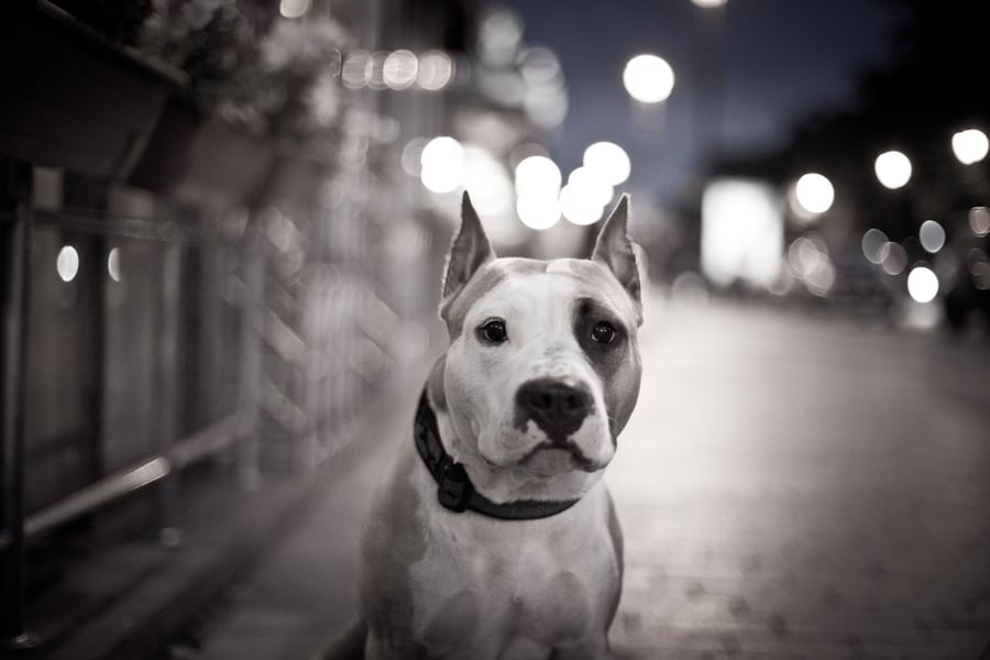 montreal pit bull