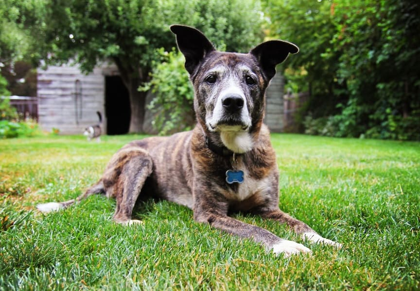 aging dog