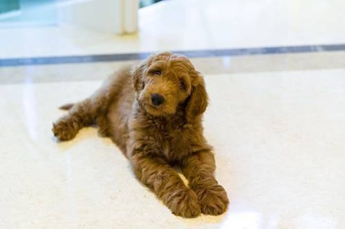 Patton, a 9-month old Goldendoodle, may become America's next First Dog! Image via Lois Pope Life Foundation.