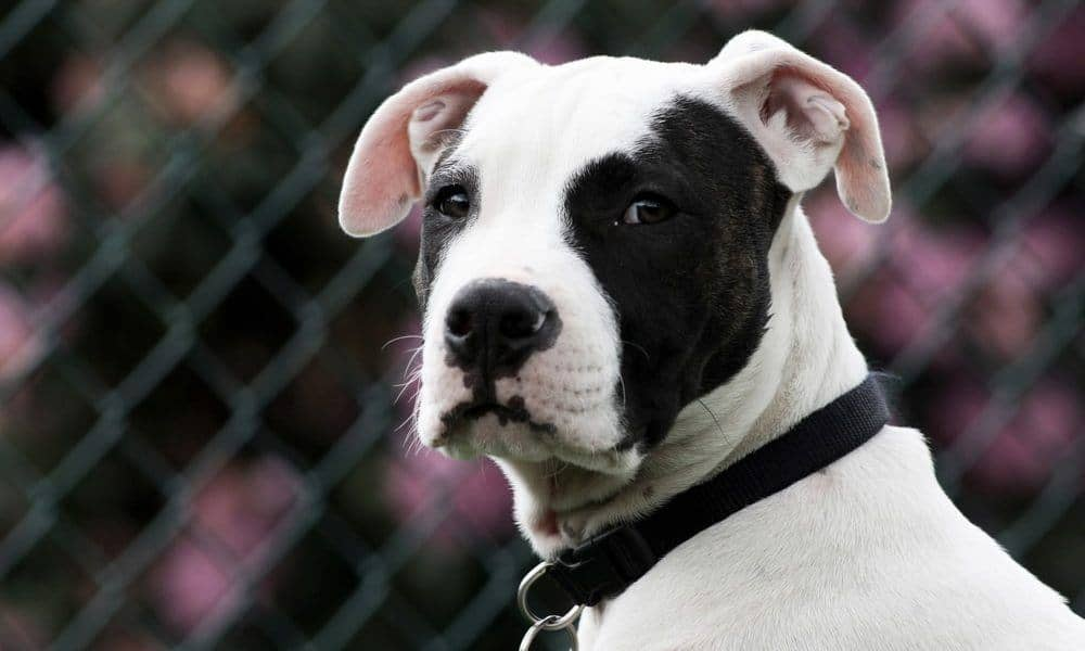 pit bull legality In the uk, it is against the law to own certain types of dog these include pit bull terriers (as well as the japanese tosa, the dogo argentino and the fil in the uk, it is against the law to own certain types of dog these include pit bull terriers (as well as the japanese tosa, the dogo argentino and the fil.